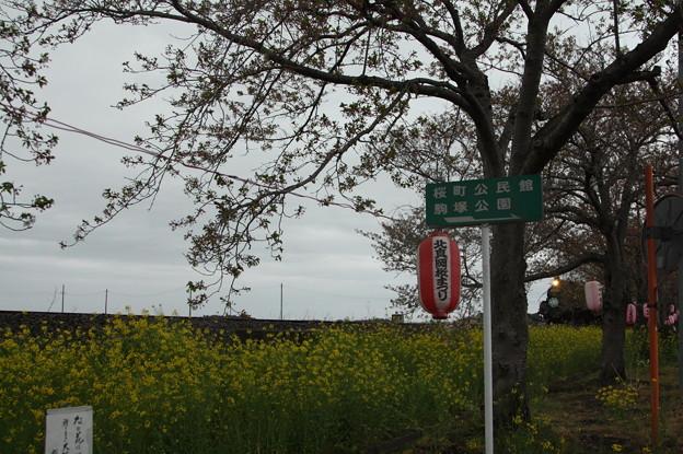 北真岡の桜・菜の花の横を通過するSLもおか 6002レ C12 66+50系客車