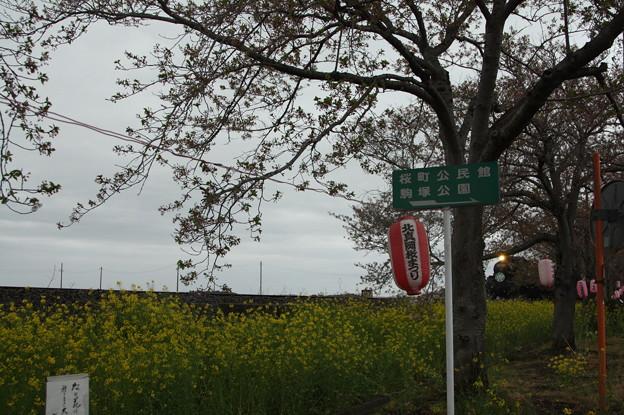北真岡の桜・菜の花の横を通過するSLもおか 6002レ C12 66+50系客車 (1)