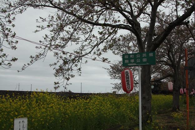 北真岡の桜・菜の花の横を通過するSLもおか 6002レ C12 66+50系客車 (2)
