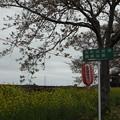 Photos: 北真岡の桜・菜の花の横を通過するSLもおか 6002レ C12 66+50系客車 (2)