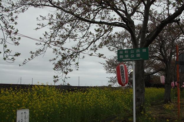 北真岡の桜・菜の花の横を通過するSLもおか 6002レ C12 66+50系客車 (4)