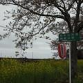 Photos: 北真岡の桜・菜の花の横を通過するSLもおか 6002レ C12 66+50系客車 (4)