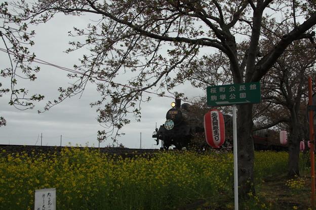 北真岡の桜・菜の花の横を通過するSLもおか 6002レ C12 66+50系客車 (7)