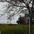 写真: 北真岡の桜・菜の花の横を通過するSLもおか 6002レ C12 66+50系客車 (7)