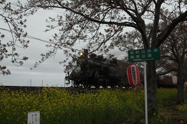 北真岡の桜・菜の花の横を通過するSLもおか 6002レ C12 66+50系客車 (8)