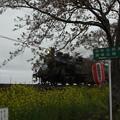 写真: 北真岡の桜・菜の花の横を通過するSLもおか 6002レ C12 66+50系客車 (8)