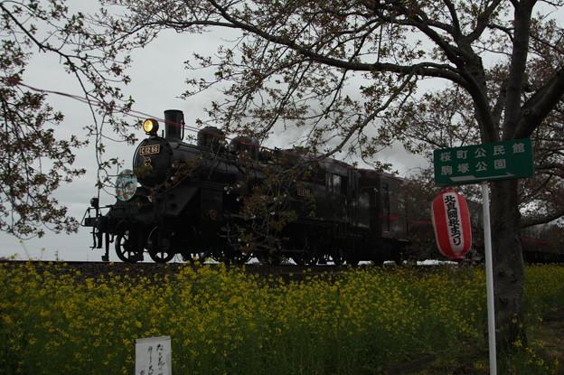 北真岡の桜・菜の花の横を通過するSLもおか 6002レ C12 66+50系客車 (9)
