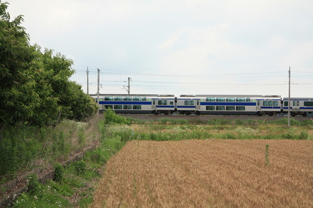 麦畑を行くE531系 (16)