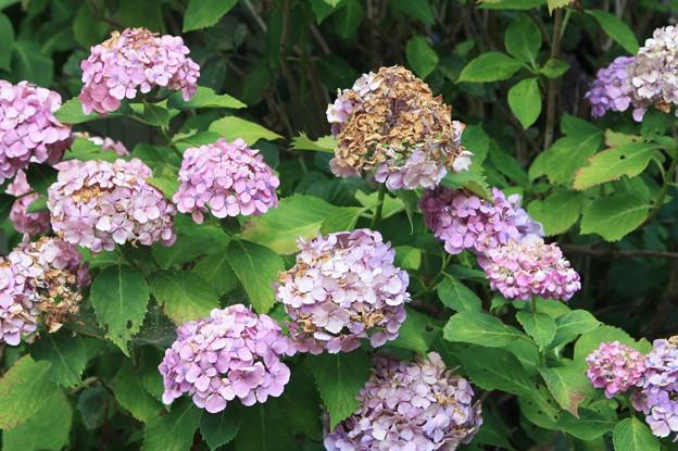 枯れかけた紫陽花 (1)