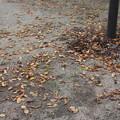 Photos: 公園に落ちてる葉 20181013_08