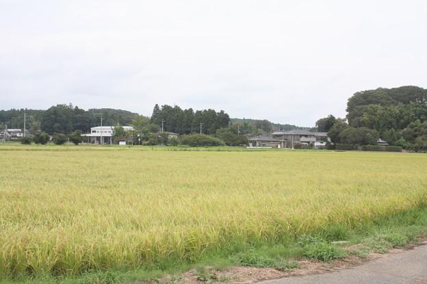 黄金の稲 20180828_26