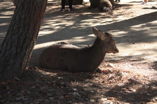 奈良公園の鹿 13