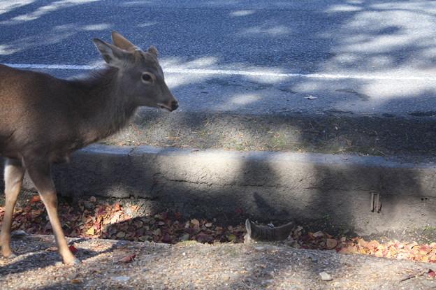 奈良公園の鹿 15