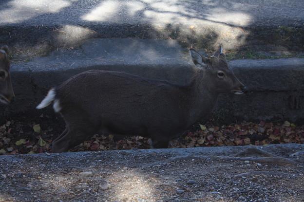 奈良公園の鹿 16