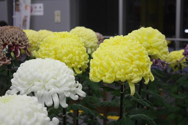 友部駅改札内にある笠間稲荷の菊 (3)