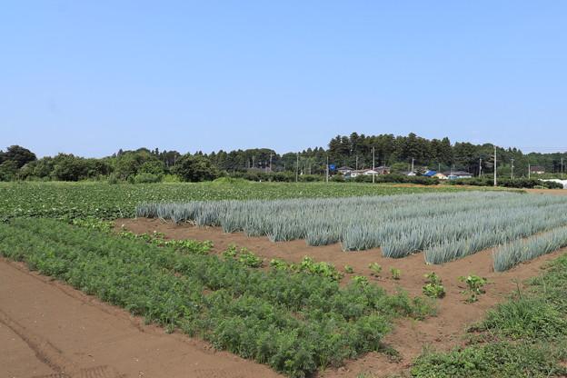 夏の風景 畑 20190818_03