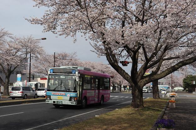 桜満開の通りを通過する関東鉄道バス (2)