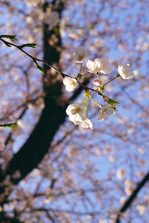 やはり桜はええのぅw
