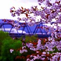 桜と新幹線
