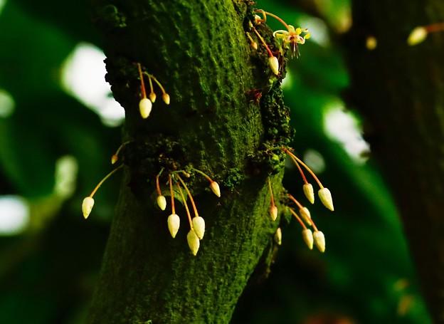 幹から花の出る木