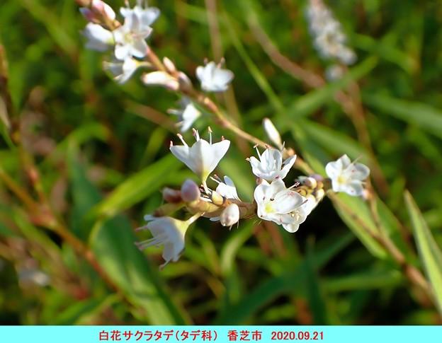 Photos: 白花サクラタデ