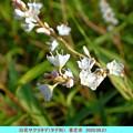 白花サクラタデ