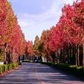 Photos: アメリカフウ並木