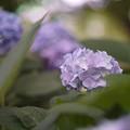 Photos: 森ノ宮の紫陽花