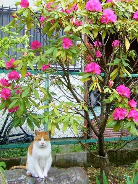 我が家の石楠花
