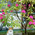 写真: 我が家の石楠花