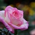 写真: 薔薇の魔法