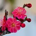 写真: 可愛い紅梅