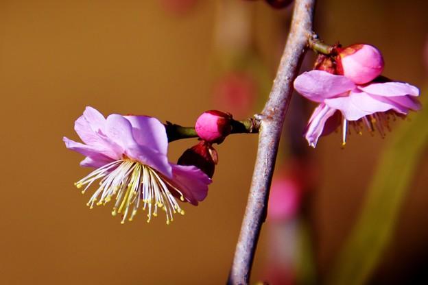 写真: 羽根木公園の梅