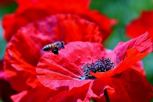 写真: シャーレーポピーと蜂ちゃん