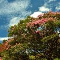 神代植物公園の百日紅