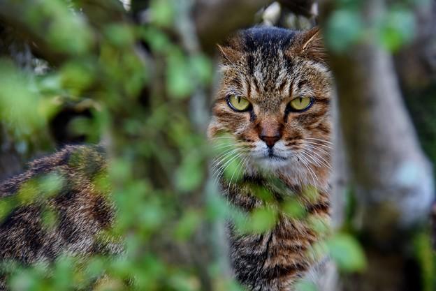 森に潜む虎