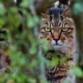 写真: 森に潜む虎