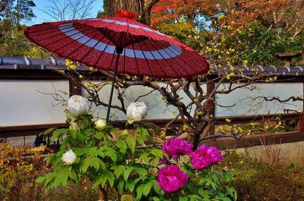写真: 上野東照宮の冬牡丹