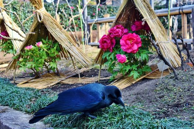 カラスと冬牡丹
