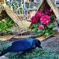 写真: カラスと冬牡丹