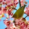 ????: 寒桜とメジロ