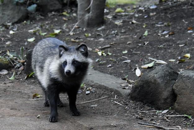 Photos: 野生の狸