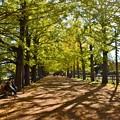 Photos: かたらいの銀杏並木