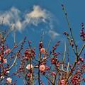 Photos: 梅を撮りました