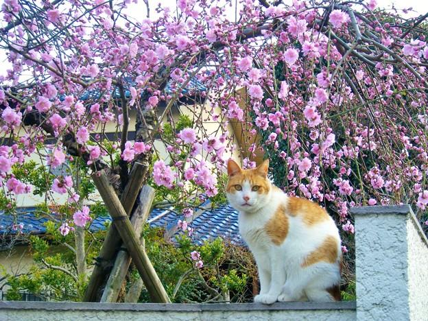我が家の枝垂れ花桃
