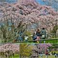 Photos: 仙台の桜
