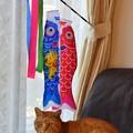 Photos: 鯉のぼりと福嗣