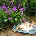 Photos: 庭の紫蘭