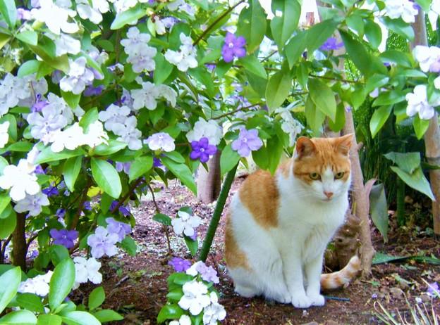ニオイバンマツリの花の下で