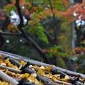 公孫樹の葉っぱ